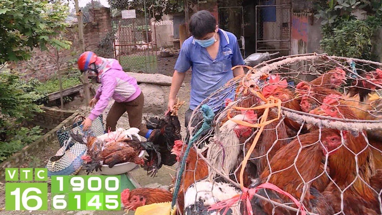 Giá gà rẻ chưa từng có trong lịch sử, người nuôi lao đao | VTC16