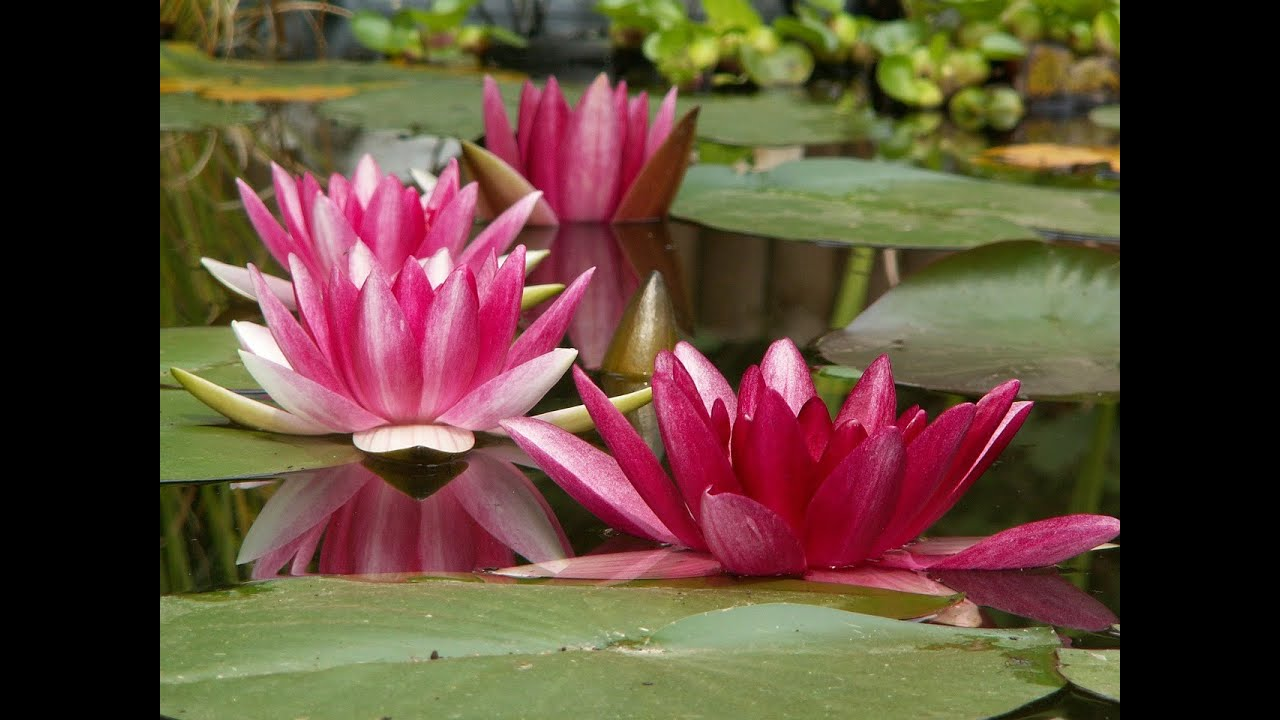 Beautiful And Sacred Lotus Flowers Pictures Youtube