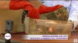 Perzsa leopárd kölyök született a Miskolci Állatkertben.