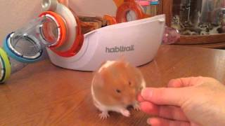 Syrian hamster taming and training exercise
