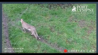 Cheetah Cam Exterior | Live From Our Cheetah Enclosure