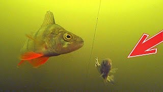 ДЕРЗКИЕ окуни Атакуют Ловля хищника на живца и спиннинг Подводная съемка