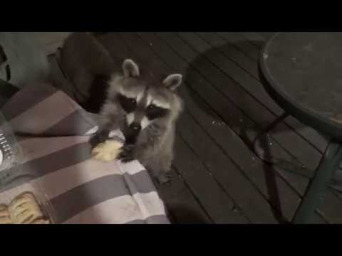 Two Baby Raccoons and a Straggler