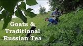 Receptek Ivan Tea prosztatitisből