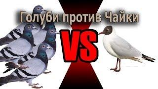 Голуби против чайки Прикол