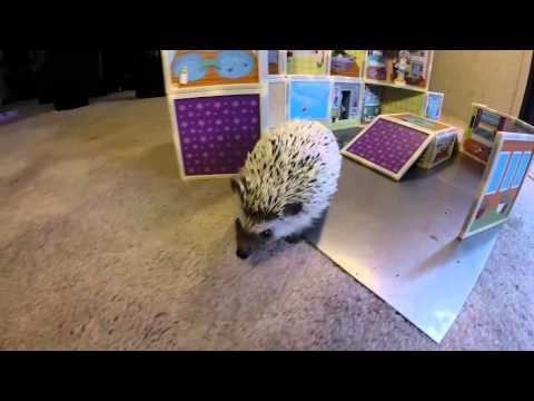 Adorable hedgehog explores a magnetic dollhouse