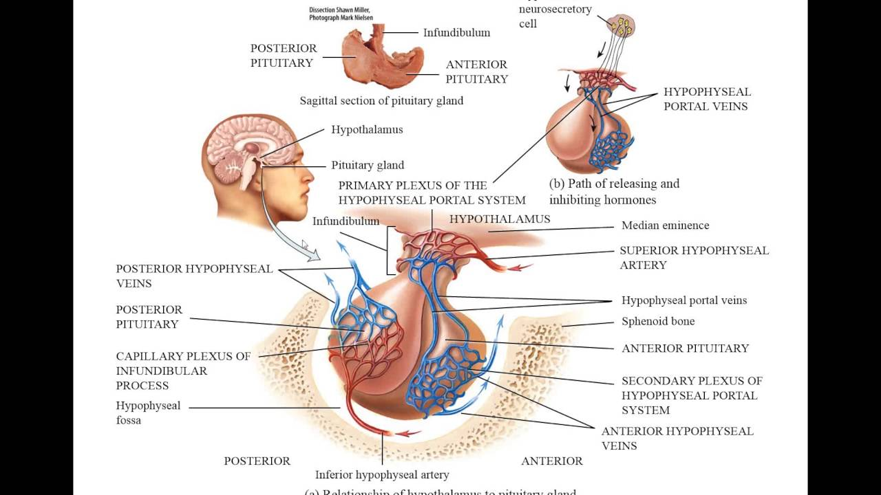 The Hypophyseal Portal System and Homones of the Hypothalamus - YouTube