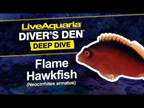 LiveAquaria® Diver's Den® Deep Dive: Flame Hawkfish (Neocirrhites Armatus)