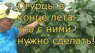ОГУРЦЫ В АВГУСТЕ-продление плодоношения!