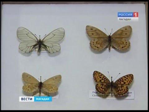 Краснокнижные бабочки переданы в краеведческий музей Магадана
