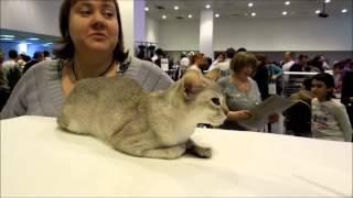 Сингапурская . Самая маленькая кошка .
