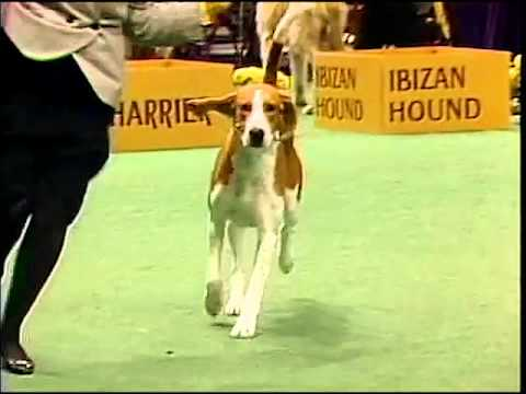 American Foxhound - AKC Dog Breed Series