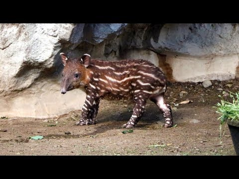 Tapir tot makes exhibit debut