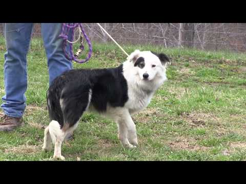 Training Border Collies (The Basics)