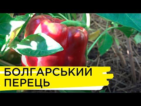 Суспільне Житомир: Корисні властивості продуктів | Болгарський перець