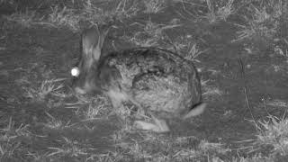 Djuma Private Game Reserve Live Stream: Scrub Hare out for late night dinner