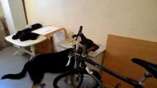 Grym.. German Shepherd. Indoors training...
