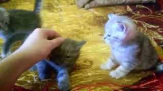 Шотландские котята Хайленд,Скоттиш фолд