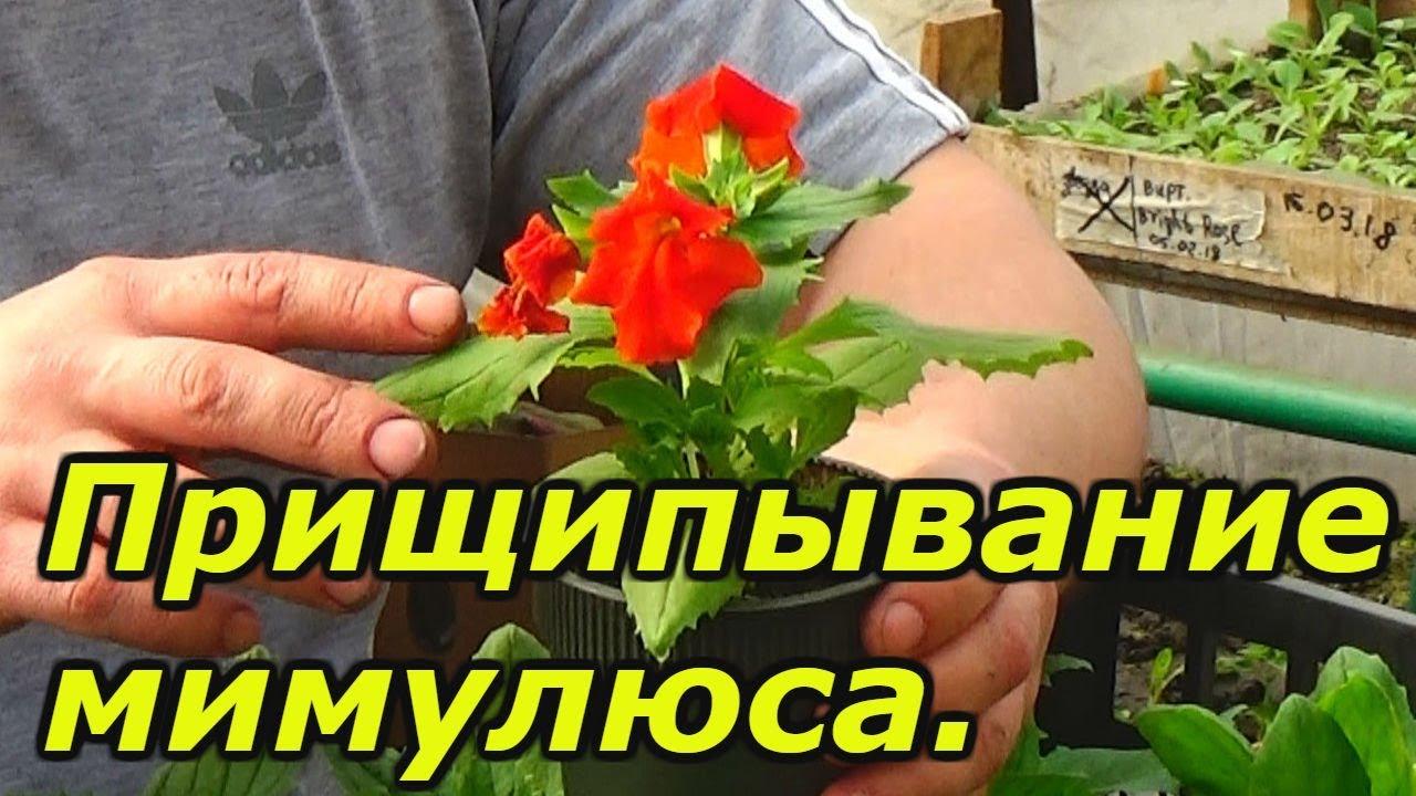МИМУЛЮС - выращивание красивого цветка!