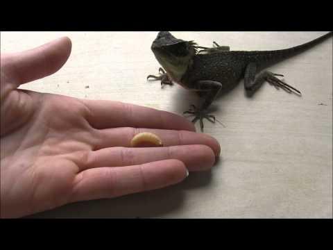 Feeding Mountain Horned Lizards - the basics