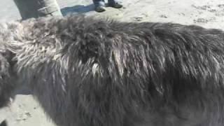 Irish Wolfhound Mauled By A Friend