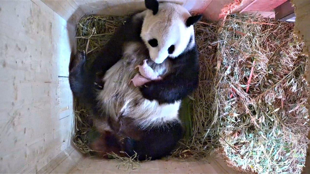 В зоопа�ке Вен� панда 171�к��вала187 в�о�ого де�ен��а ново��и