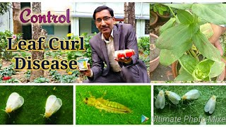 How to Control Leaf Curl Disease in Flowering plants// Conttrol of Whitefly and Thrips