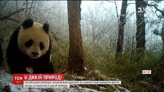 У Китаї зафільмували життя панди з дитинчам у дикій природі
