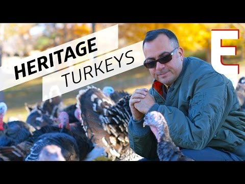Heritage Turkeys Exist! You Don't Have to Buy Bad Factory Meat This Thanksgiving — The Meat Show