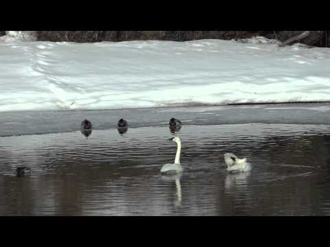 Swan Lake: Dance Of The Swans   Tchaikovsky