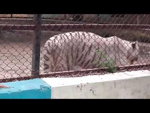 White tiger maitri bagh bhilai