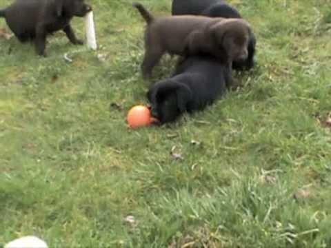 Nieuw Lab Pups AKC Field Trial Hunt Tacoma - YouTube ZE-75
