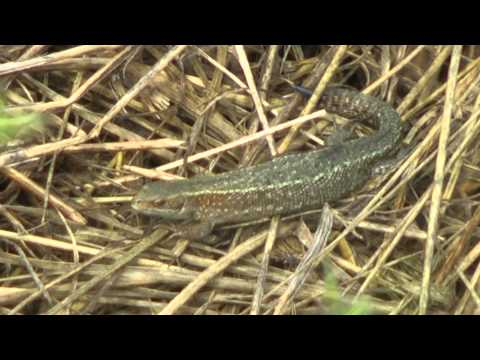 A Grass Snake, a Lizard and a Butterfly at RSPB Fowlmere - July 2014