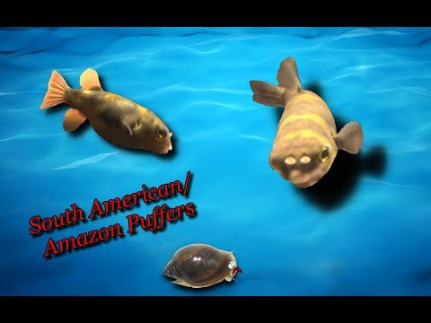 Friday Fish Files Ep.3 - South American/Amazon Puffer