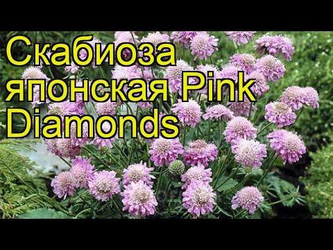 Скабиоза японская Pink Diamonds. Краткий обзор, описание характеристик, где купить саженцы