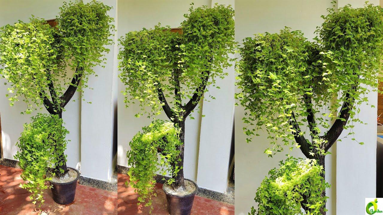Turtle Vine Plant Ideas/Evergreen Turle Vine Plant/Plants Growing At Home/Dry wood /ORGANIC GARDEN