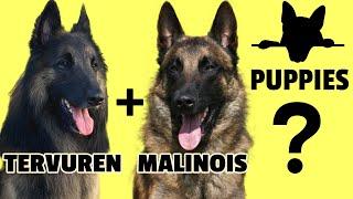 Tervuren + Malinois Puppies? Intervariety Breeding of the Belgian Shepherd
