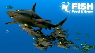 One of TheGamingBeaver's most viewed videos: THE GIANT SHARK SHOAL!! - Fish Feed Grow | 21