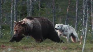 Скачать 5 Битв животных снятых на камеру