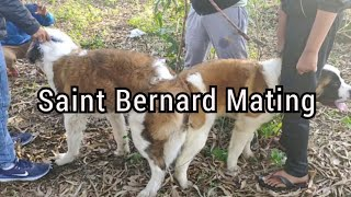 Saint Bernard stud video..