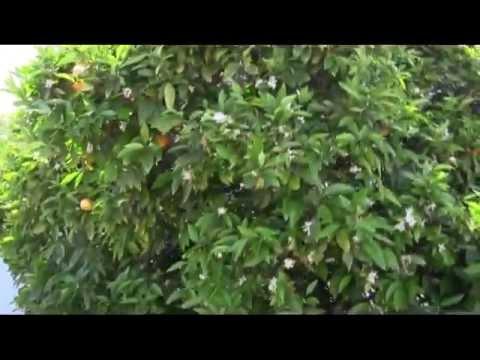 Pruning Citrus Trees