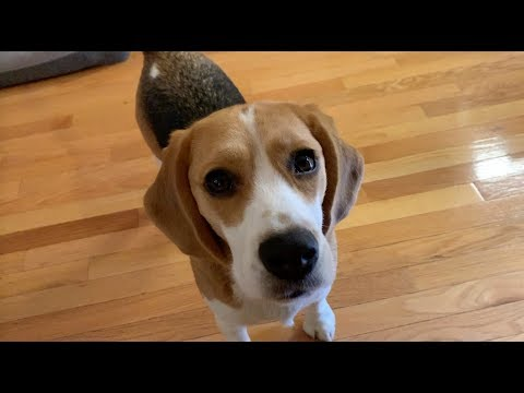 Cute beagle emotional blackmail