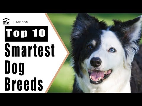 Smartest Dog Breeds - Top 10 Smartest Dog Breeds In The World