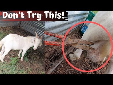 Do NOT Try This If You Don't Know What You Are Doing! Kiko Buck Goat