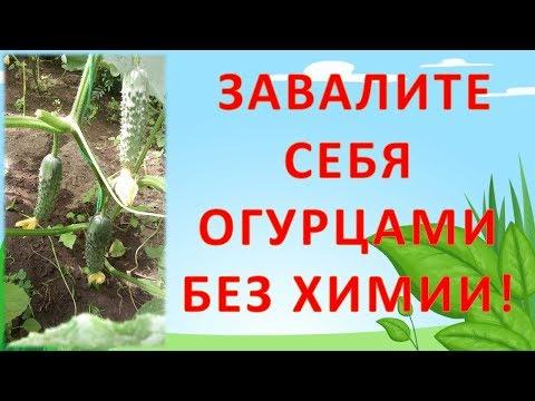 КАК ЗАВАЛИТЬ СЕБЯ ОГУРЦАМИ БЕЗ НИТРАТОВ И ВСЯКОЙ ХИМИИ!!! Как выращивать огурцы.