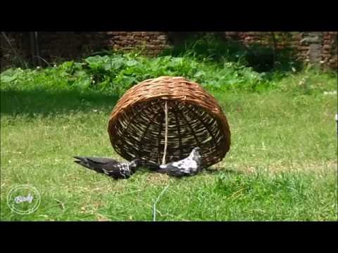 Homemade Bird Trap | How To Trap A Bird