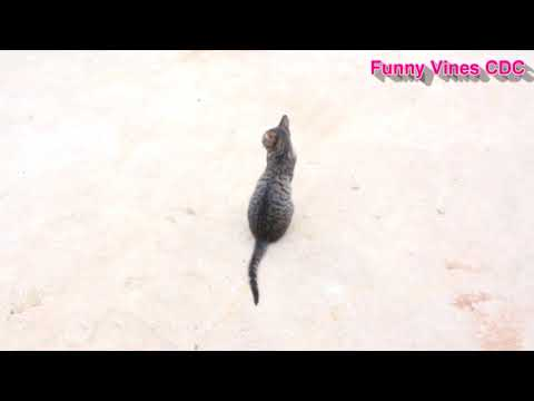 Funny Animal 2017 Try Not to Laugh or Grin Funny Cat Compilation 2017