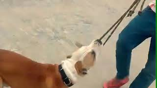 Top|| Pitbull|| Dog || fighter ||attack || Fight || training|| vs Pitbull|| video|| in punjab