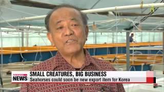 Seahorse farming could soon be big business in Korea   해마 양식 길 열려 식품 원료 주목