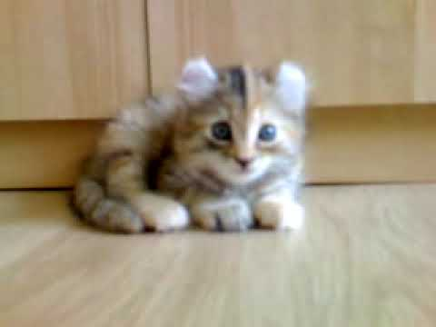 Thumbnail for Cat Video Adorable American Curl Kitten